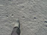 Arctic Fox Tracks