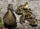 Duckling Adventure