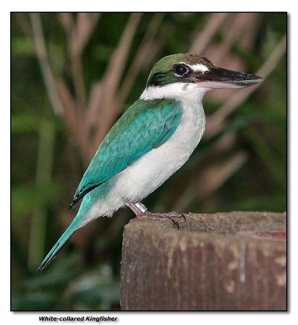 White-collared Kingfisher