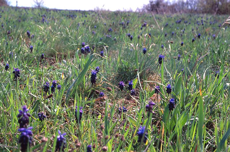 Blue flowers field in Mangoop