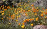 Poppies from the desert