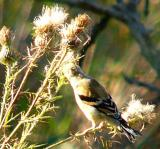 goldie on thistle 005.jpg