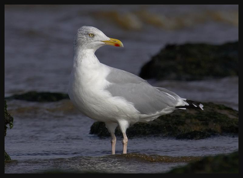 Herring Gull 4