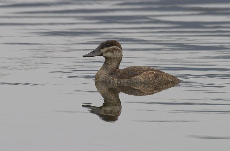 Andean--(Ruddy)-Duck.jpg