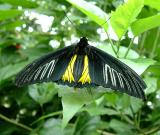 yellow underwing