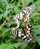Nymphs mating