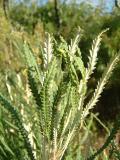 Creeping Banksia