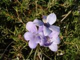 Purple Posey