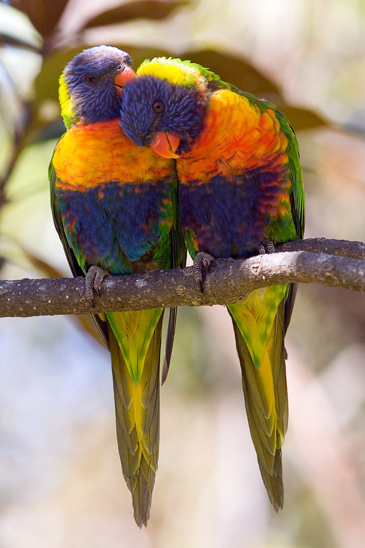 Two rainbow lorikeet lovers