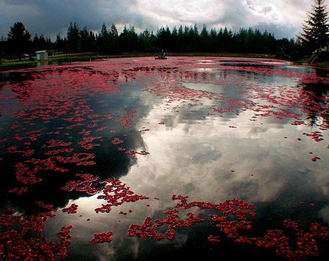Reflections In A Cranberry Bog