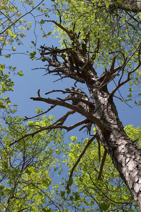 Chesnut Tree.jpg