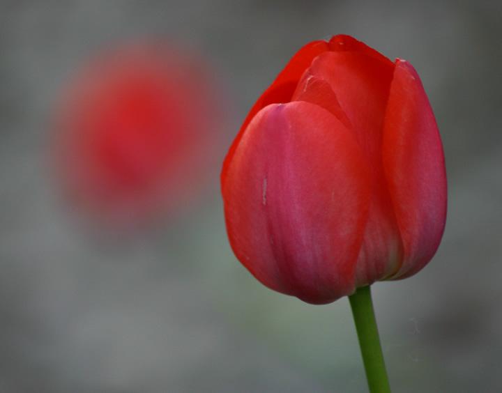 May 6, 2004 - Tiptoe thru the tulips