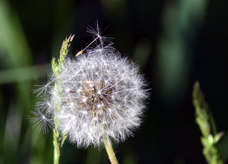 Dried dandilion