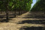 pistachio orchard, california central valley