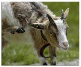 goat_gunther_DSC1248.jpg
