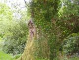 Yawning Tree in Killarney forest
