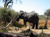 An elephant up close