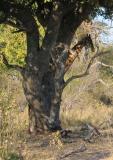 Peeking from behind the tree