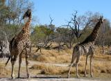 Another TWO giraffes