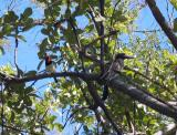 Black collared barbet and Grey hornbill
