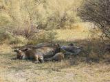 Satiated lioness with cubs