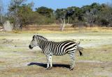 Cynthia's favorite zebra