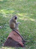 Vervet monkeys all around!