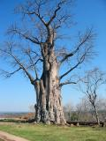 The baobab (as in the Little Prince)
