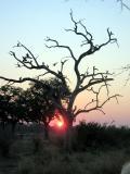 Guinea fowl in tree at dawn