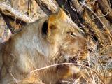 Lioness at a buffalo kill