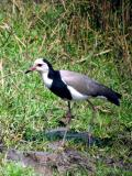 Long toed plover