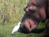 The local hippo, Frank, with cattle egret