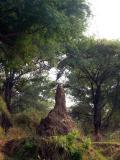 Termite mound with Goliath heron on top