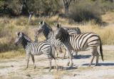 Zebra family (for Kathryn)