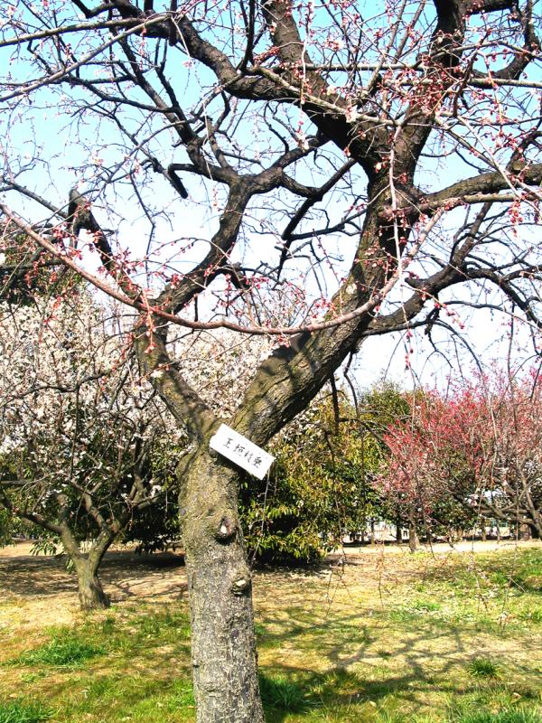 Ume [plum tree] blossoms are deeper pink and earlier than cherry