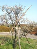 Ume [plum tree] in March with a little help