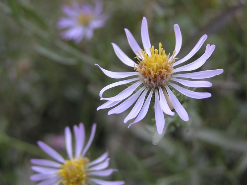 Very Late Purple Flowers PA260032.jpg