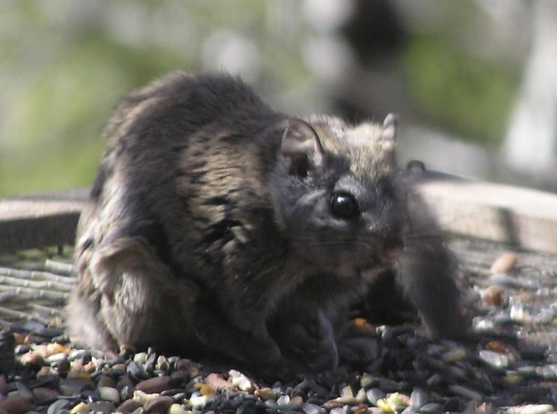 Daytime Northern Flying Squirrel P4250014.jpg
