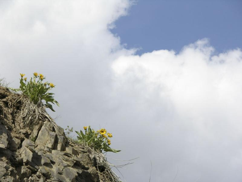Arrowleaf balsamroot on cliff DSCN1438.jpg
