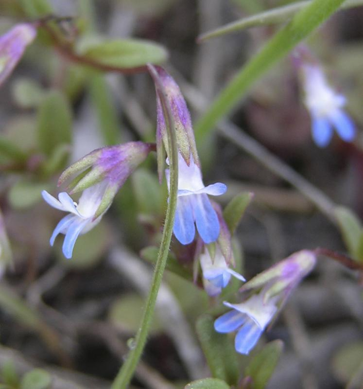 Blue-Eyed Mary or Collinsia parviflora DSCN1647.jpg