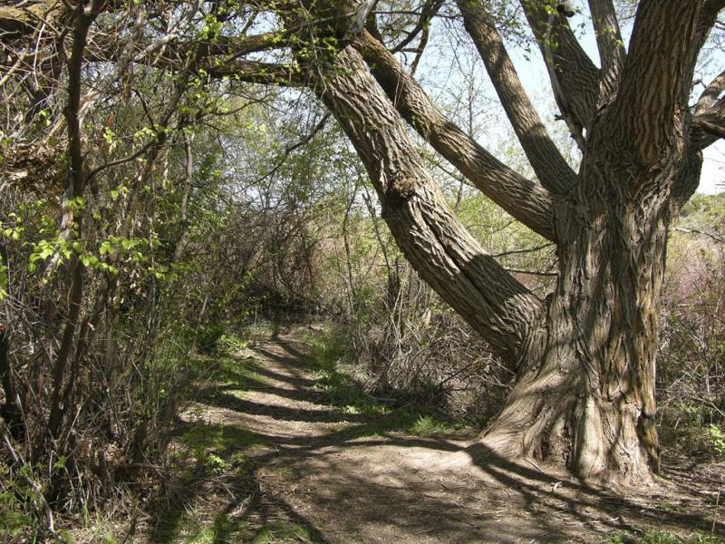 Trail with big tree at Cherry Springs DSCN1743.jpg
