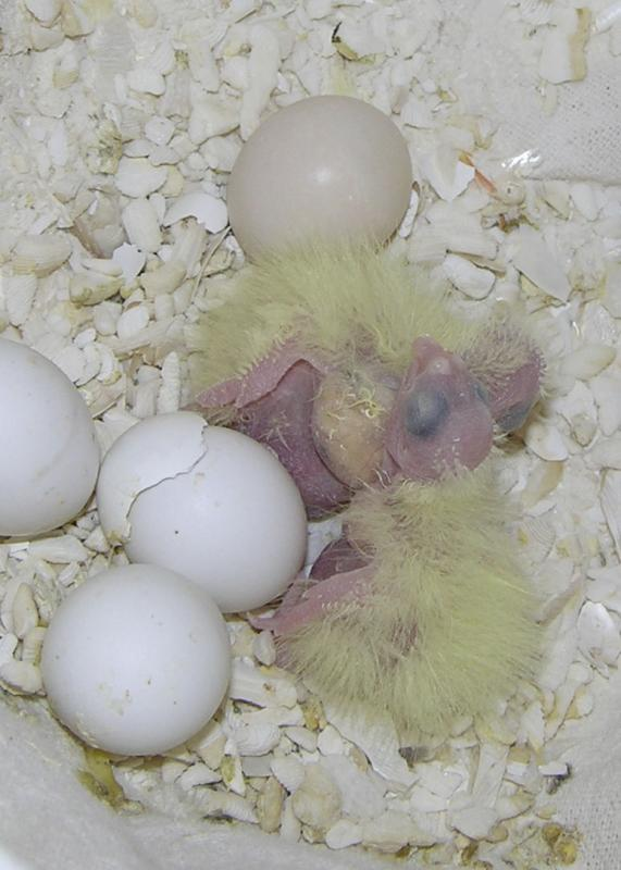 Our First Cockatiel babies born of Ama Mama and Jake Daddy DSCN5482.jpg