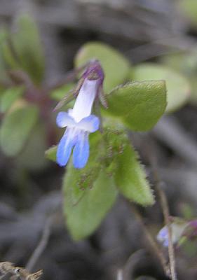 blue-eyed mary DSCN1564.jpg