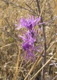 Purple flowers late PA050025.jpg