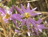 Purple flowers late PA050038.jpg