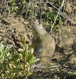 ground squirrel DSCN1837.jpg