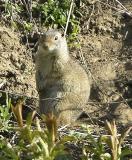 ground squirrel DSCN1840.jpg