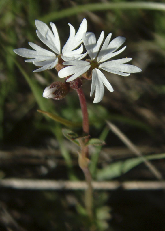 prairie star DSCF0027.jpg