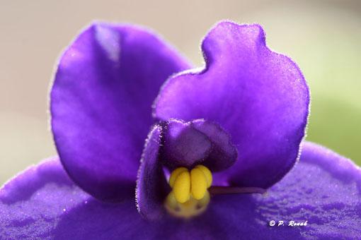Macro du matin : la violette