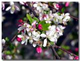 Showy Crab Apple